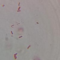 Lactobacillus delbrueckii Liquid Magnification (2000x)